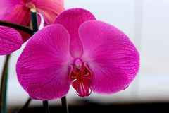 Phalaenopsis cultivar with large pink flowers. With darker veins and red lip bordered with white margin, paler at base royalty free stock photo