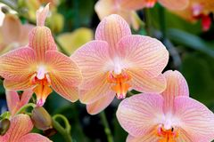 Phalaenopsis cultivar with smaller flowers in shades of peach and light pink. Darker veins and peach lip, on longer stalks royalty free stock photos