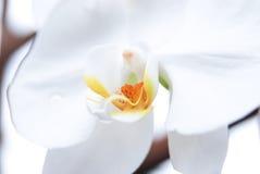 Phalaenopsis d'orchidée de fleur Photos libres de droits