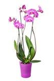 Phalaenopsis da orquídea Foto de Stock