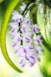 Phalaenopsis da orquídea foto de stock royalty free