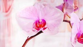 Phalaenopsis da orquídea Imagens de Stock