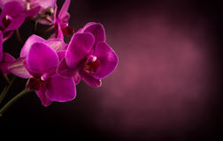 Phalaenopsis in dark blurred background Royalty Free Stock Image