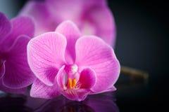 Phalaenopsis de branche Images stock
