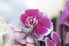 Phalaenopsis de la orquídea Foto de archivo libre de regalías
