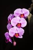 Phalaenopsis de la orquídea foto de archivo