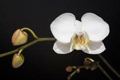 Phalaenopsis de la orquídea imagen de archivo