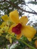 Phalaenopsis de la orquídea Fotografía de archivo libre de regalías