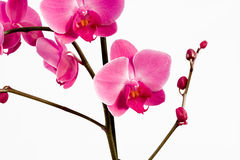 Phalaenopsis de Orchidea Fotografía de archivo
