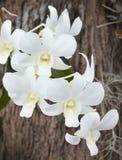 Phalaenopsis dell'orchidea Fotografia Stock Libera da Diritti