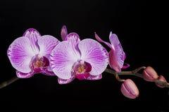Phalaenopsis dell'orchidea Immagine Stock Libera da Diritti