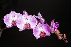 Phalaenopsis dell'orchidea Immagini Stock