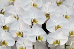 Phalaenopsis dell'orchidea Immagine Stock