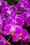 Phalaenopsis dell'orchidea Fotografie Stock Libere da Diritti