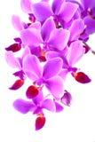 Phalaenopsis dentellare dell'orchidea Fotografia Stock Libera da Diritti