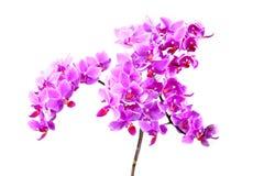 Phalaenopsis dentellare dell'orchidea Immagini Stock Libere da Diritti