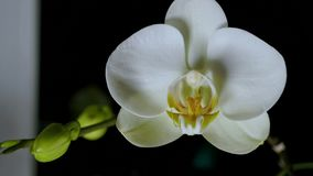 Phalaenopsis di fioritura delle orchidee del Time Lapse stock footage