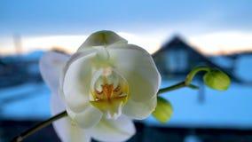 Phalaenopsis di fioritura delle orchidee del Time Lapse video d archivio