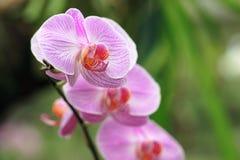 Phalaenopsis do Orchid- Imagem de Stock
