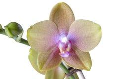 Phalaenopsis en blanco Fotografía de archivo