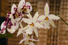 Phalaenopsis equestris orchid flower. Blooms stock image