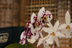 Phalaenopsis equestris orchid. Phalaenopsis equestris showy orchid with its weird shapes royalty free stock images