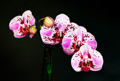 Phalaenopsis exótico de la orquídea de la flor Fotografía de archivo
