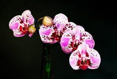 Phalaenopsis exotique d'orchidée de fleur Photographie stock