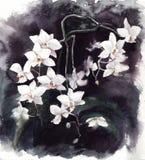 Phalaenopsis för orhid för vattenfärgillustration vit på svart bakgrund vektor illustrationer
