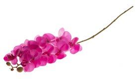 Phalaenopsis fúcsia Fotos de Stock Royalty Free