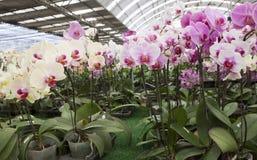Phalaenopsis farm. The plenty of beautiful Phalaennopsis in orchid farm Royalty Free Stock Image
