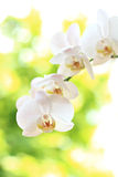 Phalaenopsis flower Stock Images