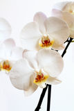 Phalaenopsis flower Royalty Free Stock Photography