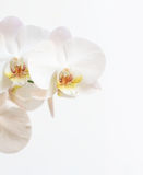 Phalaenopsis flower Stock Images