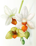 Phalaenopsis flower that blooms Stock Images