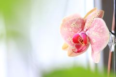 Phalaenopsis flower close-up. Pink orchid on white background. royalty free stock photography