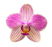 Phalaenopsis flower. Pink and yellow phalaenopsis flower (orchid) isolated on white background Stock Photos