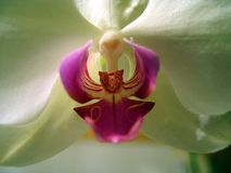 Phalaenopsis flower in Quebec. Canada, north America. Phalaenopsis flower in Quebec. Canada north America stock photo