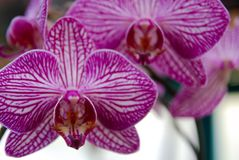 Purple Orchid veins royalty free stock photo