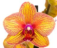 Phalaenopsis flowers Stock Images