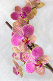 Phalaenopsis flowers (orchid) Royalty Free Stock Photography