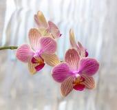 Phalaenopsis flowers (orchid)1 Royalty Free Stock Photo