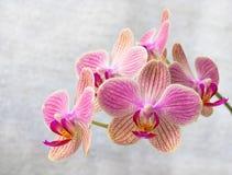 Phalaenopsis flowers (orchid) 2 Royalty Free Stock Photo