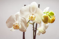 Phalaenopsis flowers Stock Photos