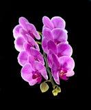 Phalaenopsis. Färgrik rosa orkidé Royaltyfria Foton