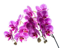 Phalaenopsis. Färgrik rosa orkidé Fotografering för Bildbyråer