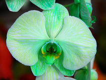 Phalaenopsis Green white orchid flower Royalty Free Stock Image
