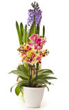 Phalaenopsis and hyacinth Stock Images