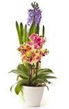 Phalaenopsis and hyacinth Stock Images