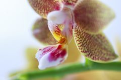 Phalaenopsis hybrid. Beautiful varietal rare orchid. Stock Photography